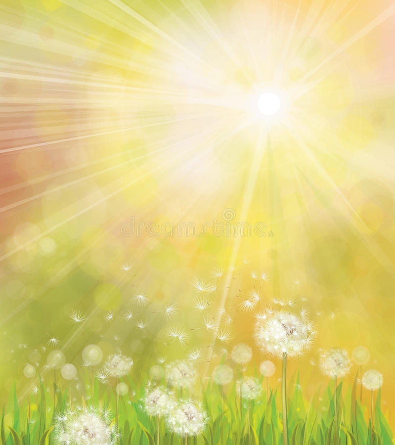 Vector of spring background with white dandelions. stock illustration