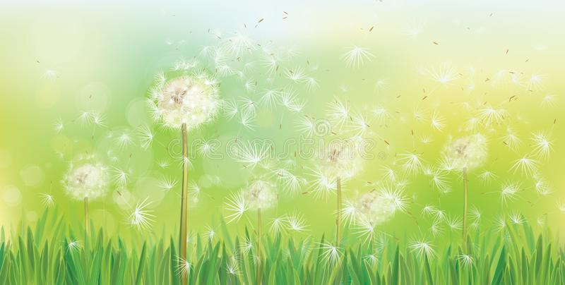 Vector spring background with white dandelions. stock illustration