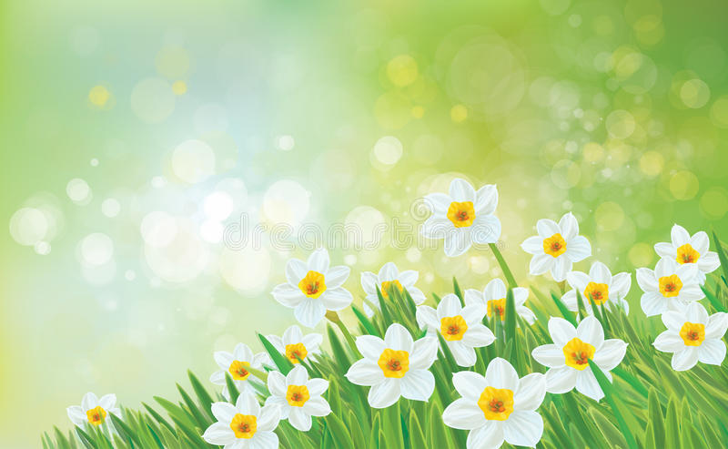 Vector spring nature background, daffodil flowers. vector illustration