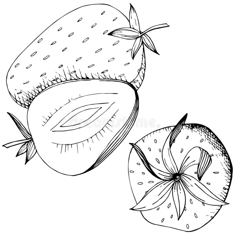 Vector Strawberry healthy food. Black and white engraved ink art. Isolated berry illustration element. vector illustration