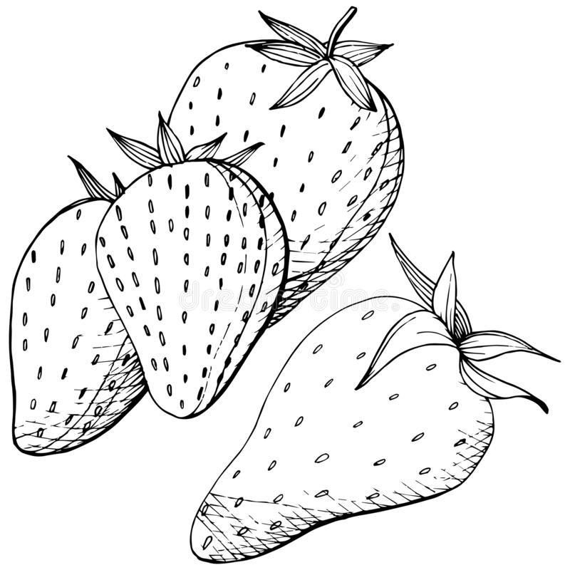 Vector Strawberry healthy food. Black and white engraved ink art. Isolated berry illustration element. royalty free illustration