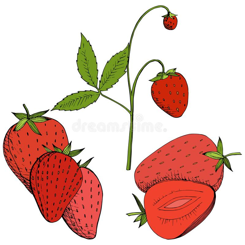 Vector Strawberry healthy food. Red and green engraved ink art. Isolated berry illustration element on white background. stock illustration