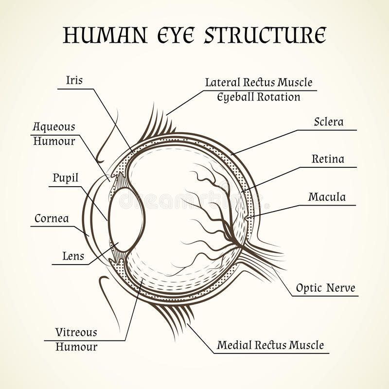 Vector Structure Of The Human Eye Stock Vector - Illustration of ...