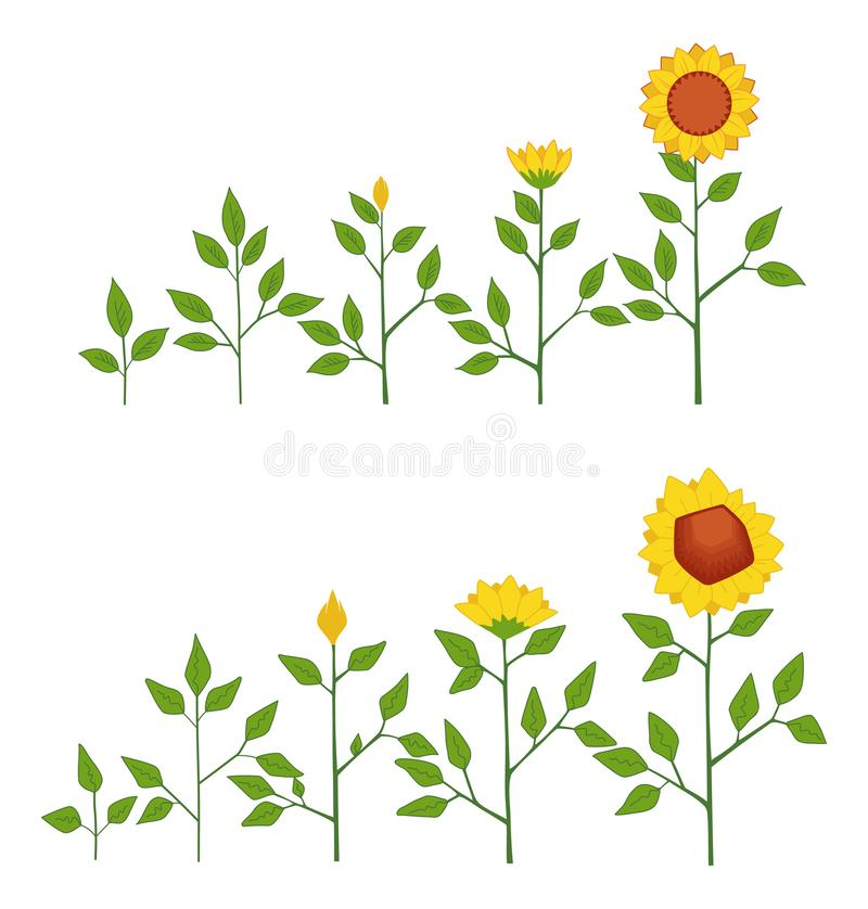 Vector sunflower plant growth stages concept, abstract flower symbols isolated on white background. Sunflower life cycle vector illustration