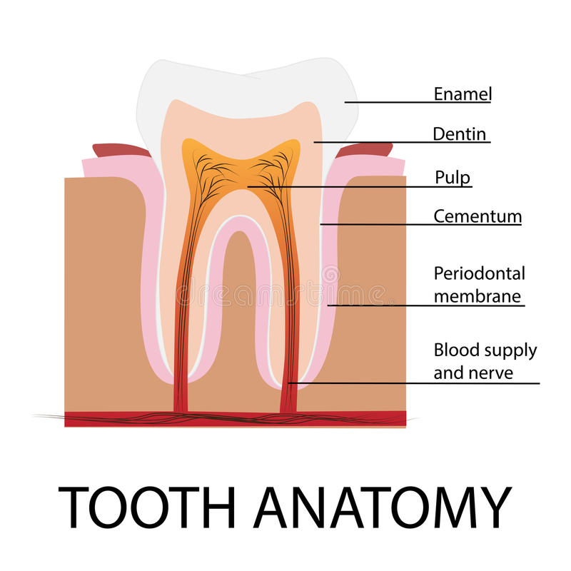 Vector tooth anatomy. Illustration with description stock illustration