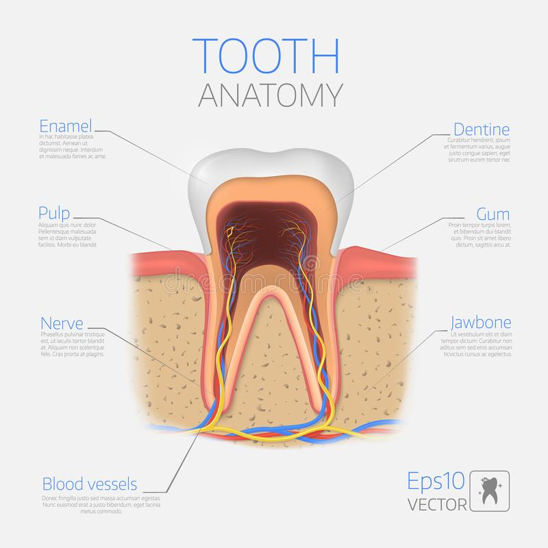 Vector tooth structure. Cross Section Anatomy with all parts. Medical infogtaphic template vector illustration