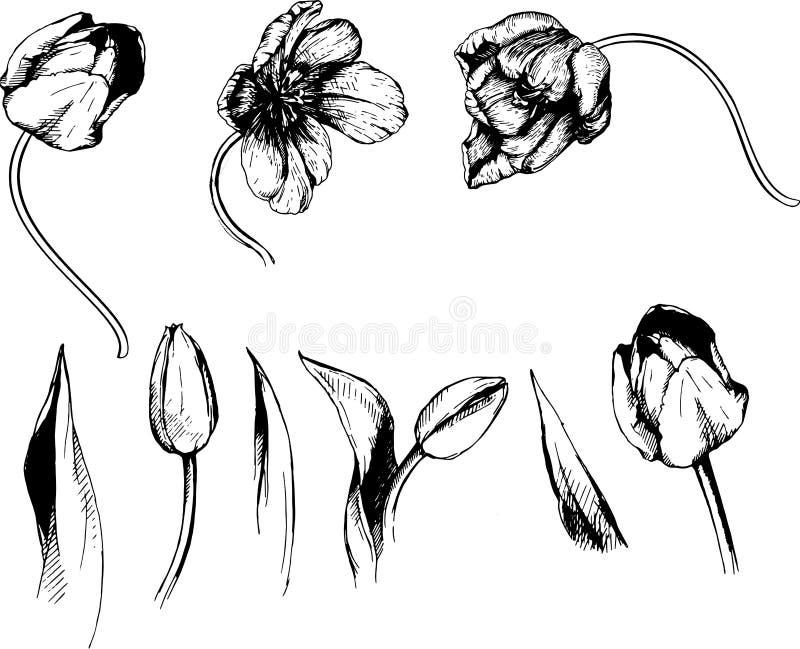 Vector tulip decorative flower illustration hand sketch vector illustration