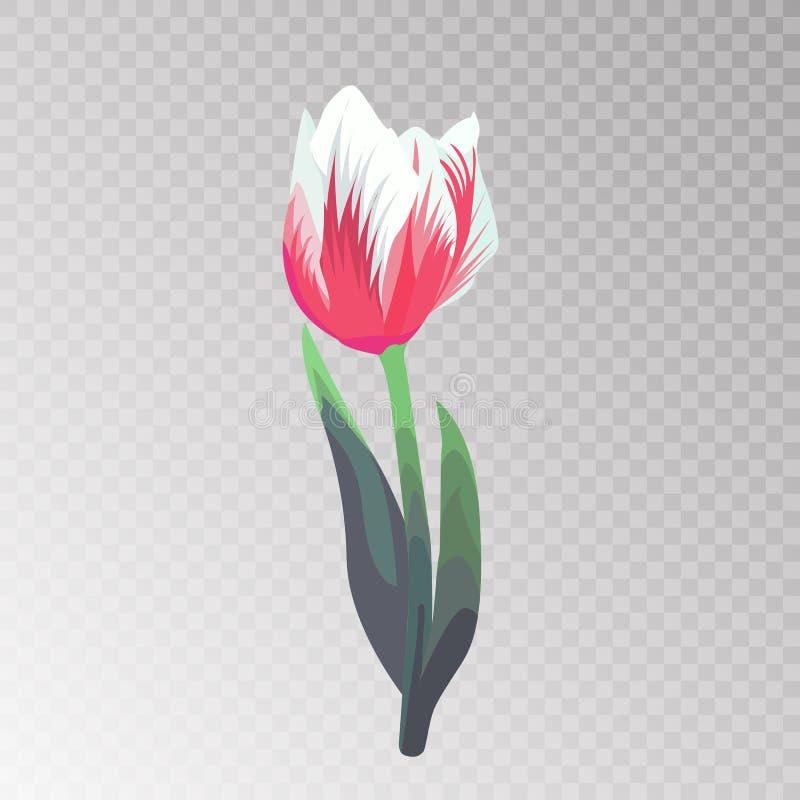 Vector Tulpe der rosa und weißen Blume auf einem transparenten Hintergrund vektor abbildung