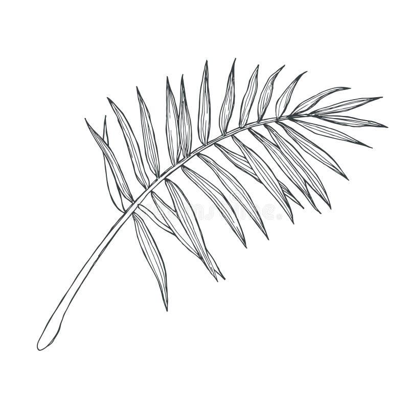 Vector uitstekend palmblad in gravurestijl Hand getrokken botanica vector illustratie