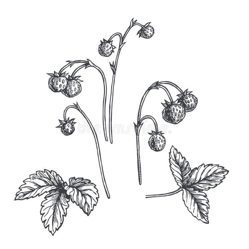 Vector uitstekende hand getrokken illustratie van wilde aardbeitwijg die op wit wordt geïsoleerd Botanische schets van tak met be stock illustratie