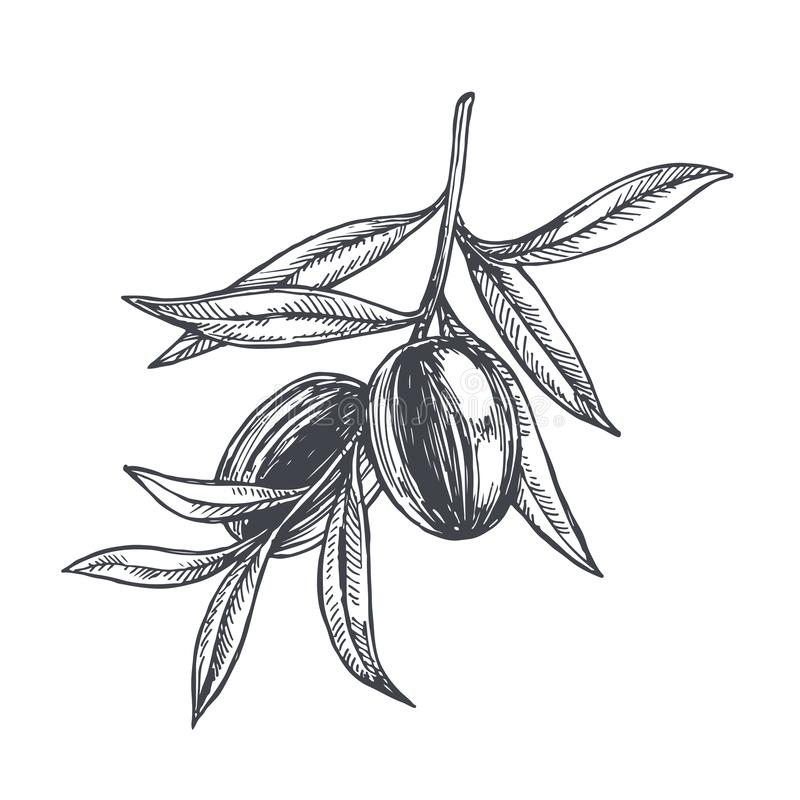 Vector vintage botanical illustration of olive branch in engraving style. Hand drawn sketch of plant with fruits isolated on white. Vector vintage botanical royalty free illustration