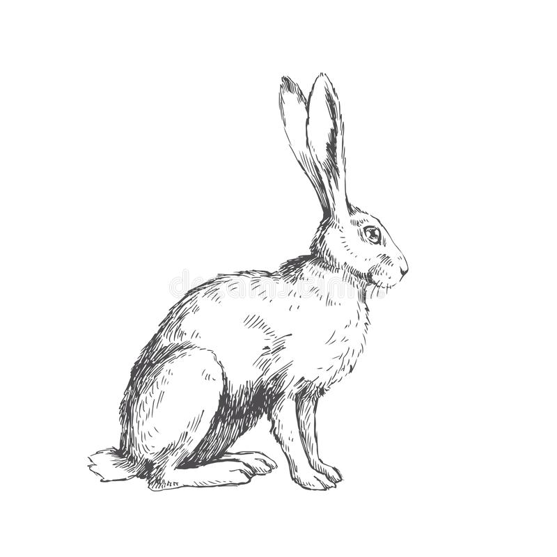 Vector vintage illustration of sitting hare isolated on white. H royalty free illustration