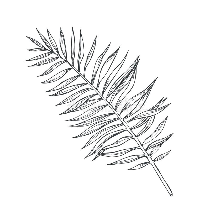 Vector vintage palm leaf in engraving style. Hand drawn botanical illustration of tropical plant branch isolated on white. Floral. Ink sketch vector illustration