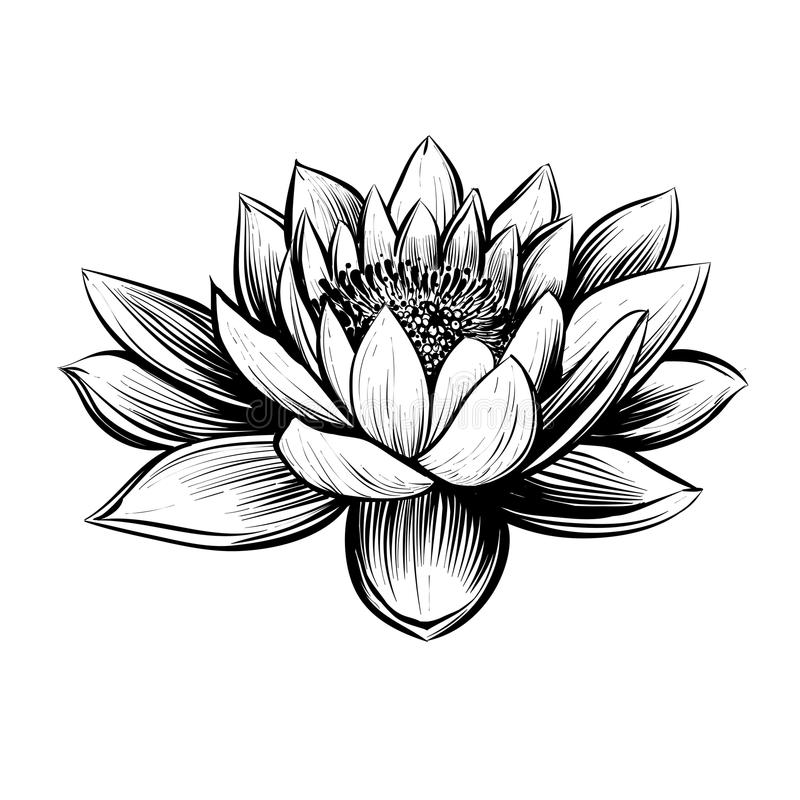 Vector water lily. Lotus illustration. stock illustration