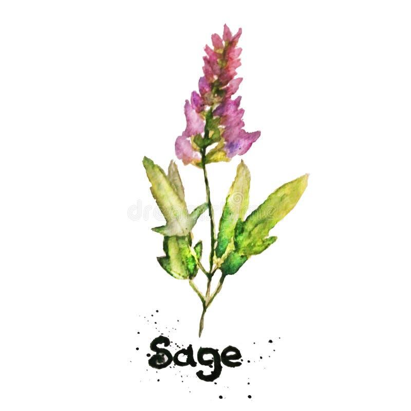 Vector watercolor natural sage plant. Salvia. Vector watercolor natural sage plant vector illustration