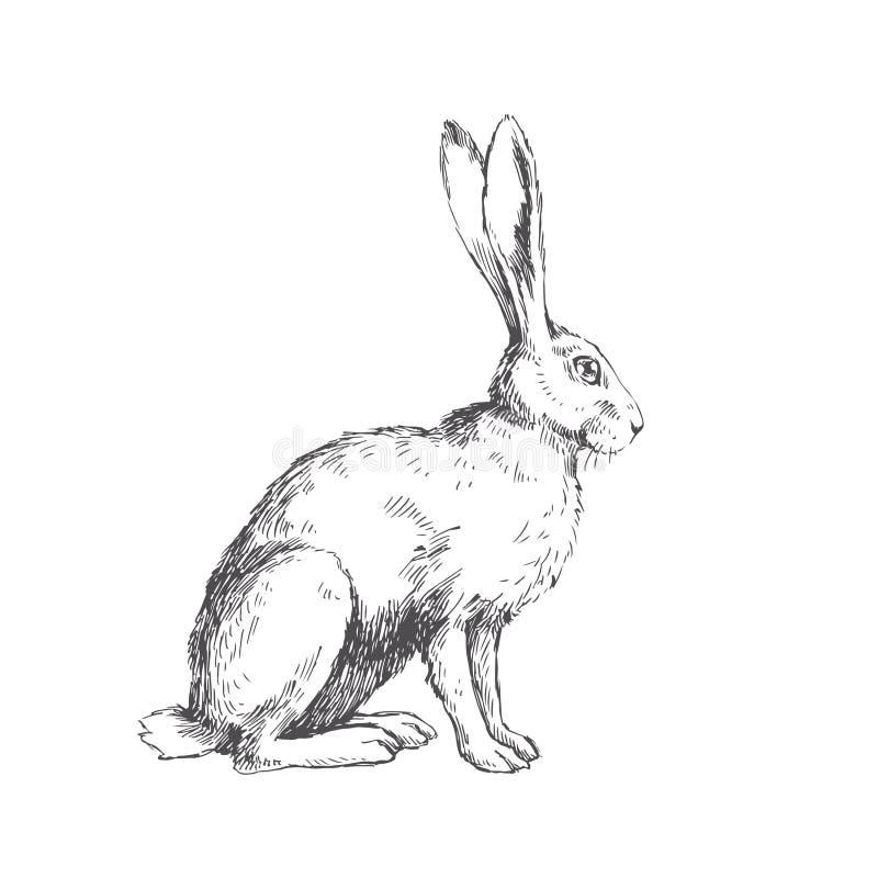 Vector Weinleseillustration von den sitzenden Hasen, die auf Weiß lokalisiert werden H lizenzfreies stockfoto