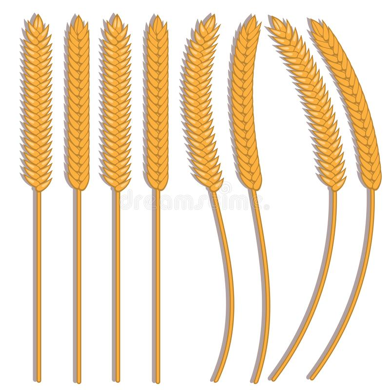 Vector wheat ears spikelets with grains. Oat bunch, yellow sereals for backery, flour production design. Whole stalks, organic vector illustration