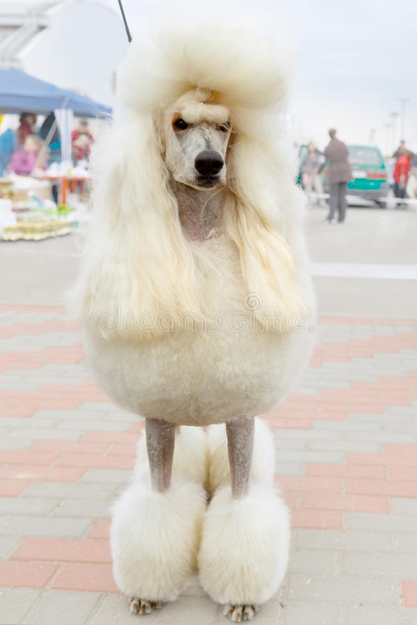 Vector white dog Poodle breed sitting royalty free stock photo