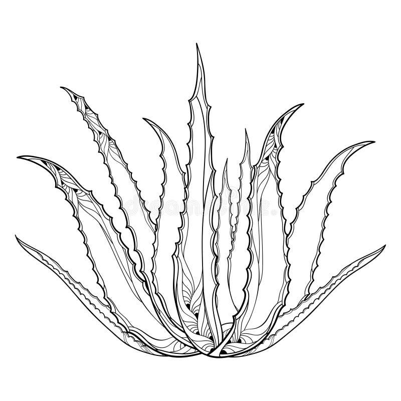 Vector Zeichnung von Entwurf Aloe Vera oder von wahrer Aloeanlage mit dem fleischigen Blatt im Schwarzen lokalisiert auf weißem H stock abbildung