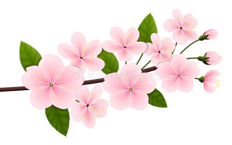 Vectorbeeld van een tak van tot bloei komende kers of sakura royalty-vrije illustratie