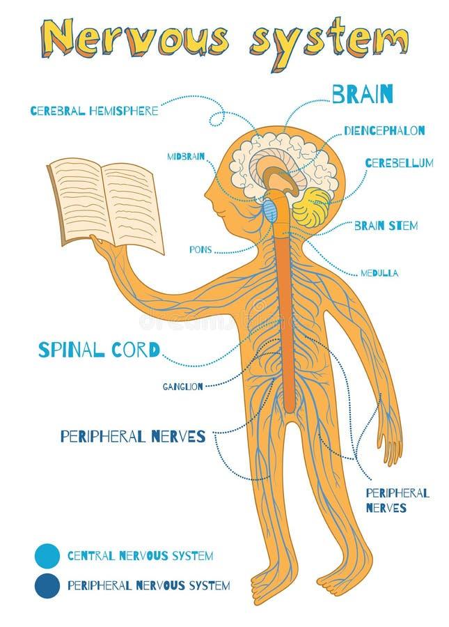 Vectorbeeldverhaalillustratie van menselijk zenuwstelsel voor jonge geitjes royalty-vrije illustratie