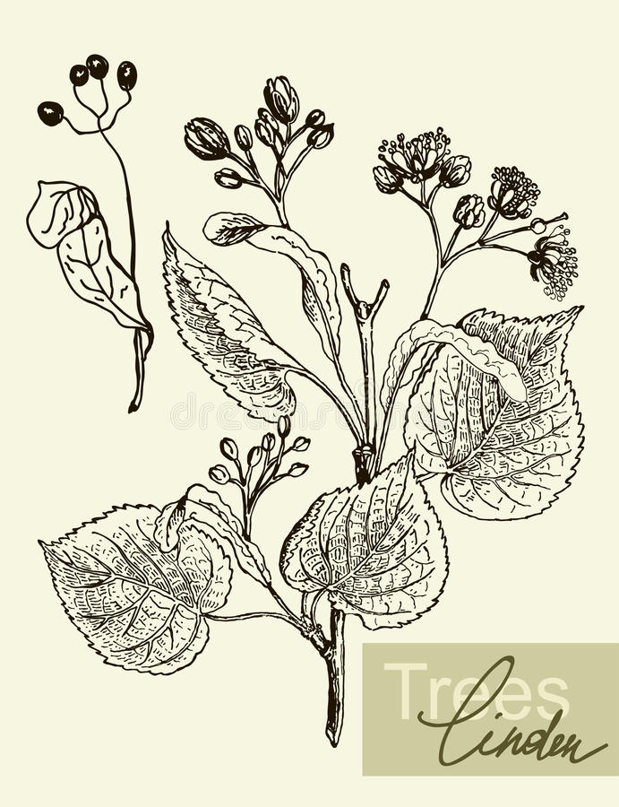 Vectorbladeren, bloemen en vruchten van de linde royalty-vrije illustratie
