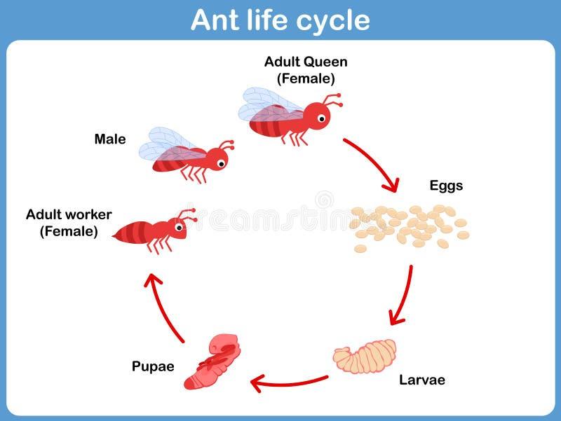 Vectorcyclus van mier voor jonge geitjes vector illustratie