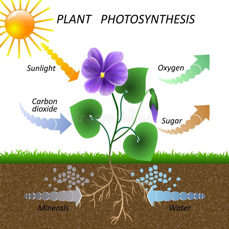 Vectordiagram van installatiefotosynthese, de plantkundeaffiche van het wetenschapsonderwijs, illustratie voor het bestuderen van royalty-vrije illustratie