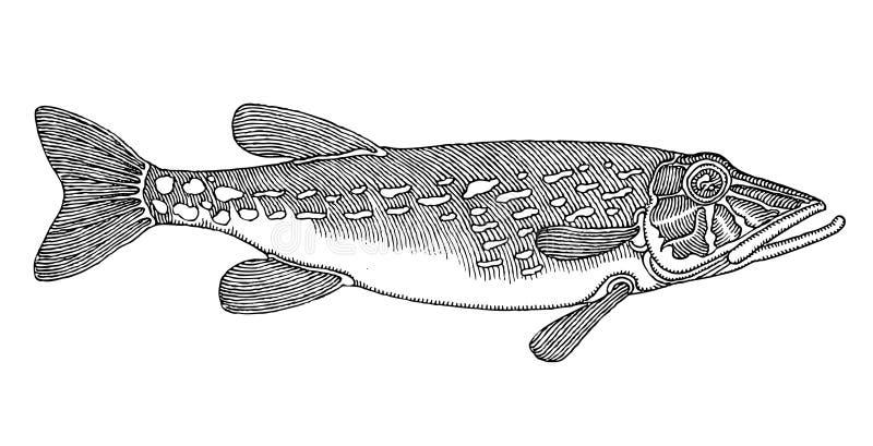 vectored originell pike för teckningshand royaltyfri illustrationer