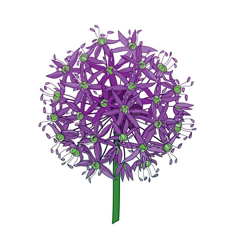 Vectorgiganteum van het overzichtsallium of de Reuzedieui bloeit hoofd in purple op witte achtergrond wordt geïsoleerd Bal van to stock illustratie