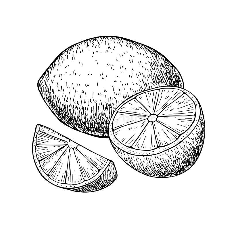 Vectorhand getrokken citroen of kalkfruit met gesneden peaces stock illustratie