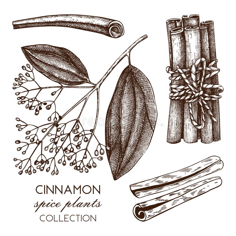 Vectorhand getrokken illustratie van Kassieboom op witte achtergrond De schets van het keukenkruid De uitstekende tekening van de vector illustratie