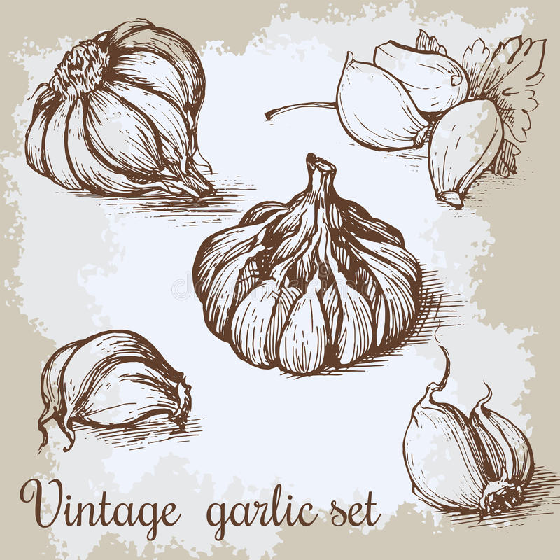 Vectorhand getrokken knoflookreeks Uitstekende retro achtergrond met geschetste garlics Van keukenkruiden en kruiden illustratie vector illustratie