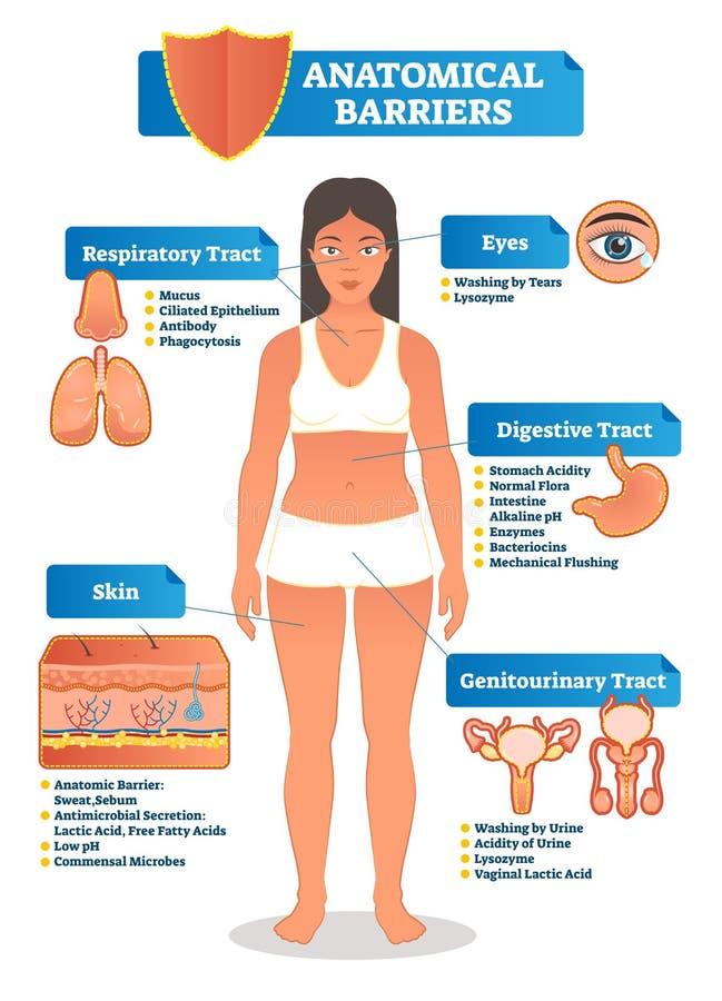 Vectorillustratie met anatomische barrièresregeling Menselijk lichaam met ademhalings, spijsverterings, genitourinary landstreek, vector illustratie