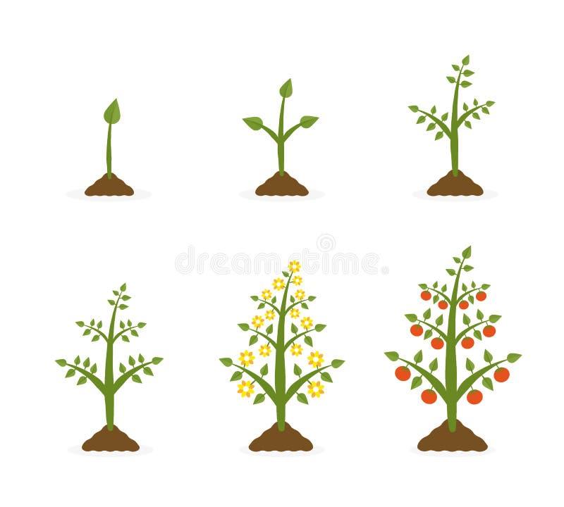 Vectorillustratie van de stadia van de installatiegroei Boom met groen blad en rood fruit Het planten van groentenconcept op wit vector illustratie