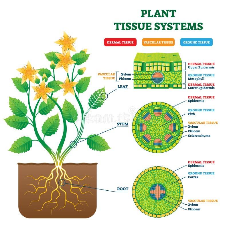 Vectorillustratie van plantenweefselsystemen Geëtiketteerd biologisch bouwstructuurschema stock illustratie