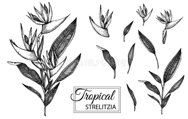 Vectorillustratie van tropische die bloem op witte achtergrond wordt ge?soleerd royalty-vrije illustratie