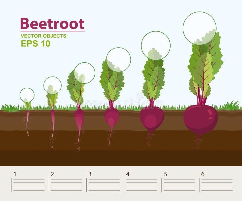 Vectorillustratie in vlakke stijl Fasen en stadium van de groei, ontwikkeling en productiviteit van bieten in de tuin stock illustratie