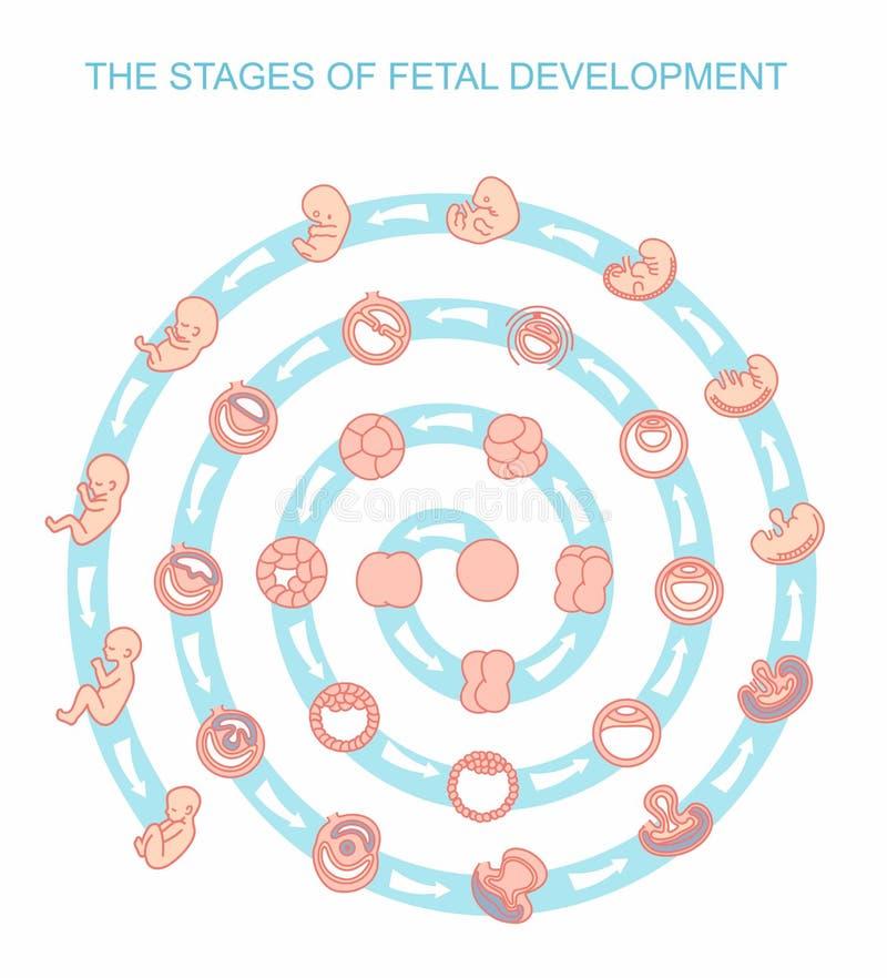 Vectorillustratiestadia van foetale ontwikkeling Geïsoleerdj op witte achtergrond Zwangerschap vector illustratie