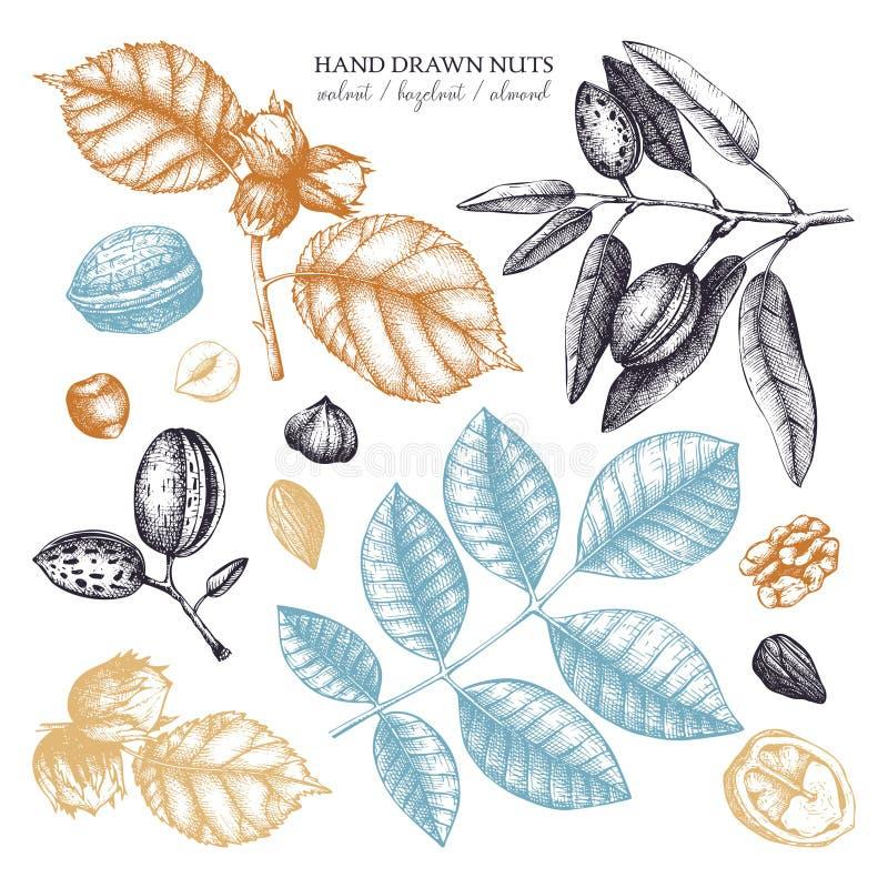 Vectorinzameling van hand getrokken notenschetsen Uitstekende illustraties van okkernoot, hazelnoot en amandel Botanische bladere stock illustratie