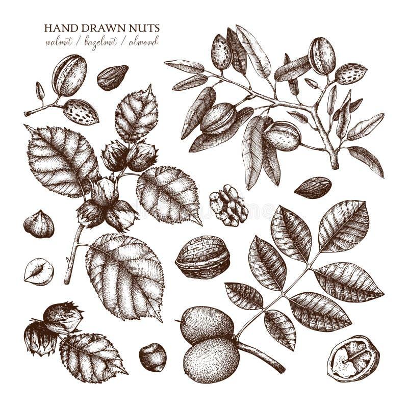 Vectorinzameling van hand getrokken notenschetsen Uitstekende illustraties van okkernoot, hazelnoot en amandel Botanische bladere royalty-vrije illustratie