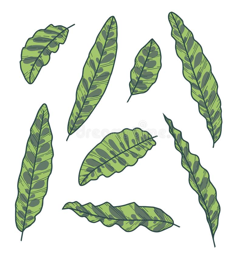 Vectorinzamelingsreeks exotische van de de Ratelslanginstallatie van Calathea Lancifolia het bladtekeningen vector illustratie