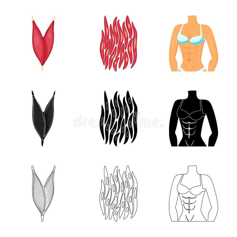 Vectorontwerp van vezel en spierpictogram Inzameling van vezel en lichaamsvoorraad vectorillustratie vector illustratie