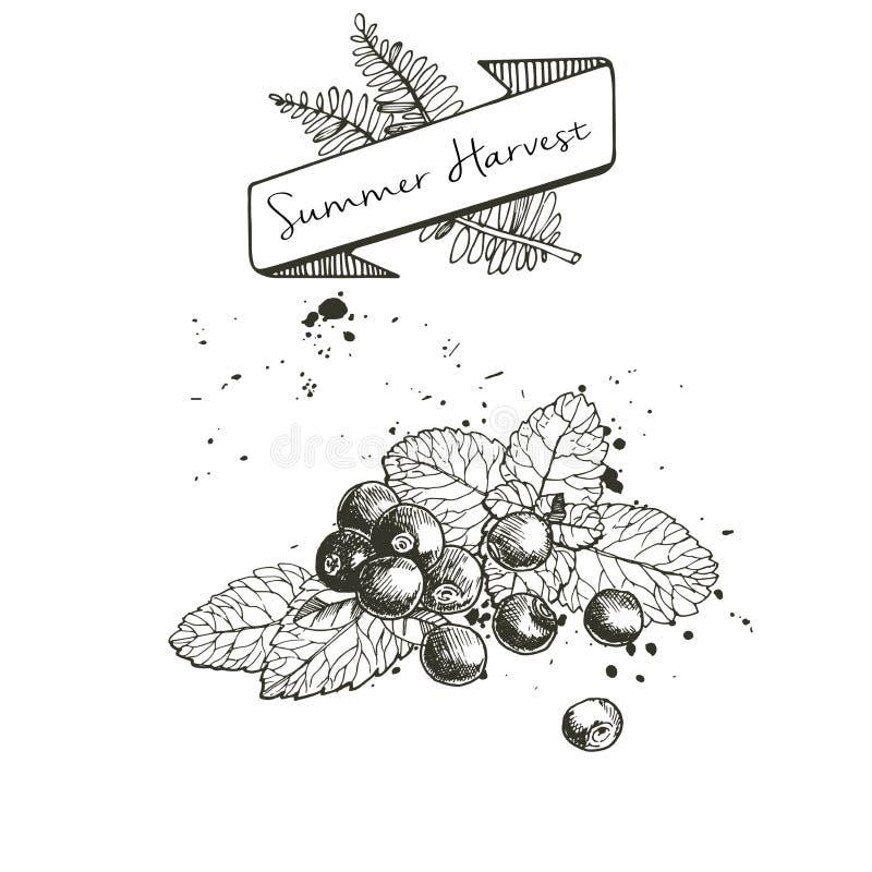 Vectorreeks van de zomeroogst die met banner wordt verfraaid, en vlekken Bosbes of Amerikaanse veenbes of braambessen en muntblad vector illustratie