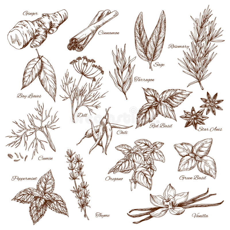 Vectorschetspictogrammen van kruiden en kruidkruiden stock illustratie