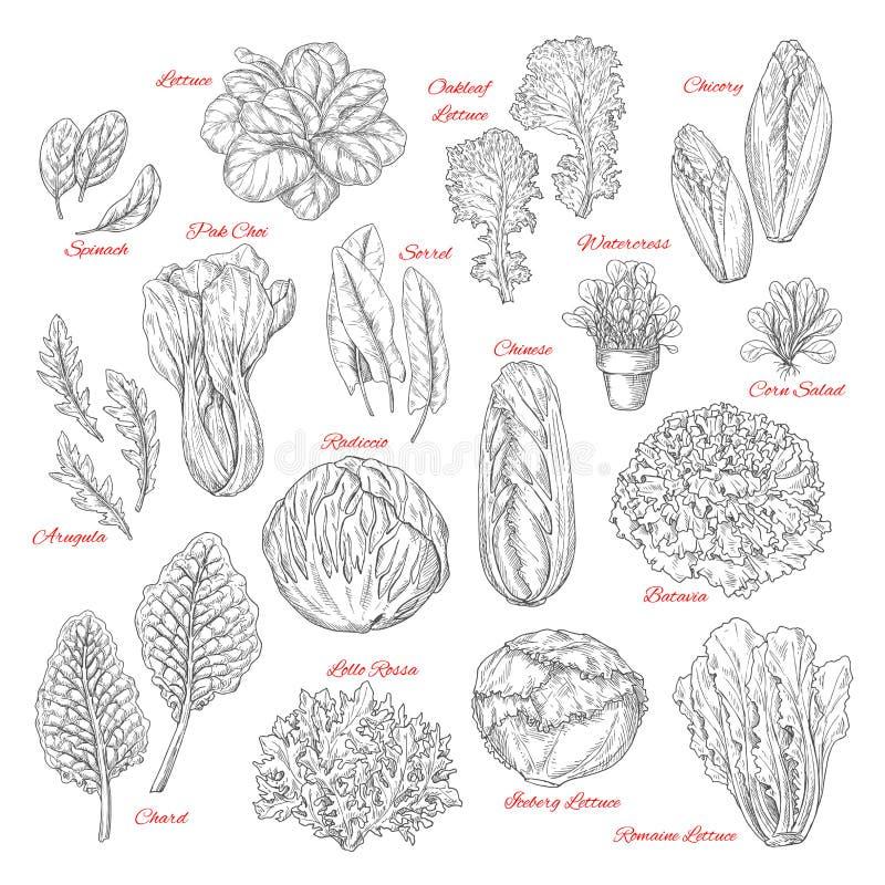 Vectorschetspictogrammen van salade bladgroenten royalty-vrije illustratie