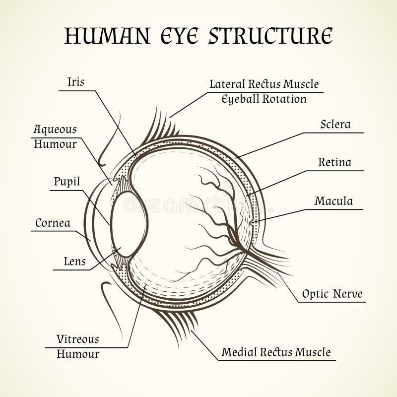 Vectorstructuur van het menselijke oog royalty-vrije illustratie