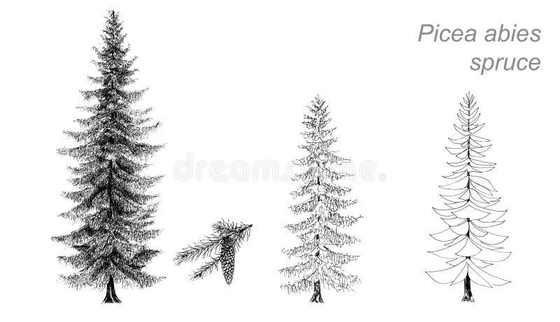 Vectortekening van sparren (Picea abies) royalty-vrije illustratie