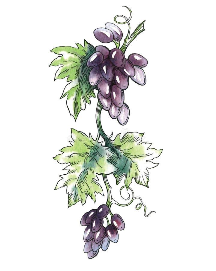 Vectorwaterverfschets van wijn en druiven stock illustratie