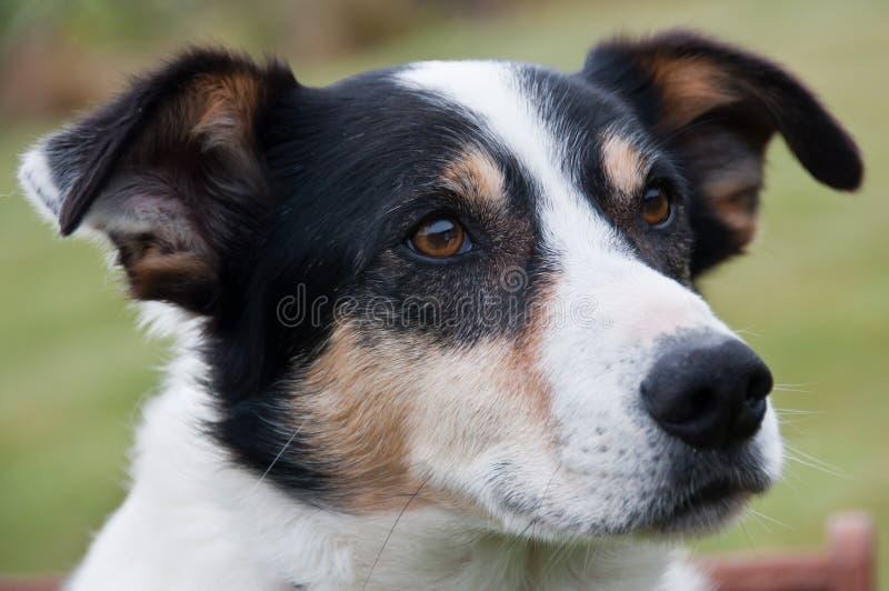 Vedere il cane di funzionamento dell'occhio fotografie stock libere da diritti